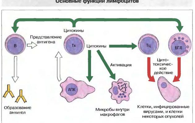 функции лимфоцитоа