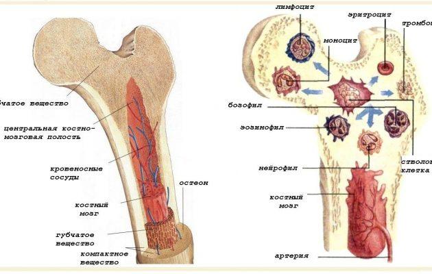 состав кости